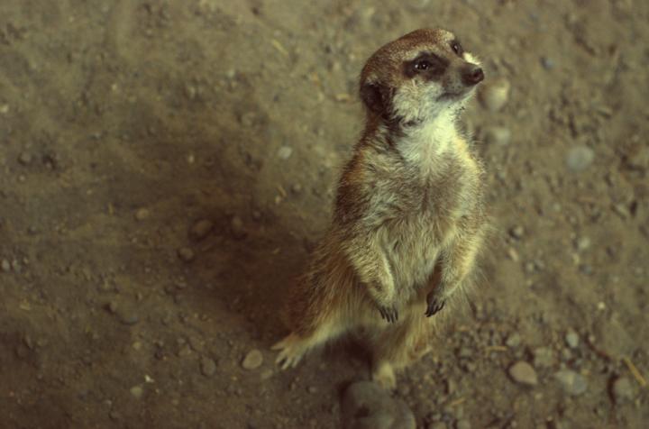 0117-alert-meerkat