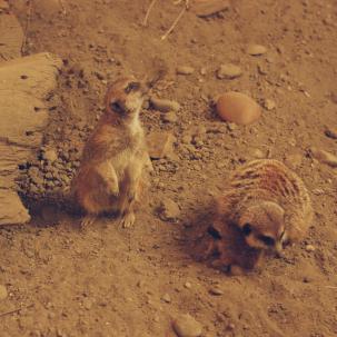 A meerkat cuddles its baby.
